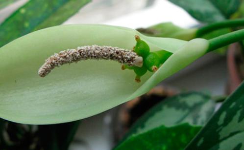 Аглаонема: розмноження і хвороби