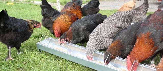 Чим годувати курей? Годування курей на птахофабриках і в домашніх умовах