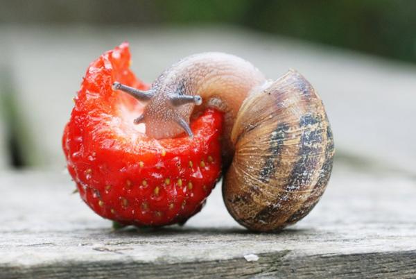 Що їдять равлики? Раціон равликів в природному середовищі існування і домашніх умовах