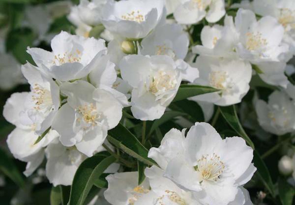 Чубушник: посадка і догляд. Основні характеристики рослини за сортами