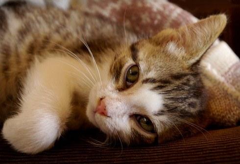 Чумка у кішок: симптоми та лікування