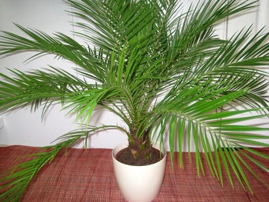 Фінікова пальма в домашніх умовах