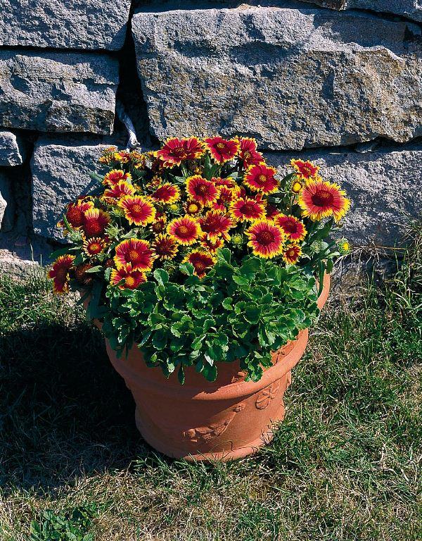 Гайлардия: посадка і догляд. Особливості вирощування гайларіі і фото квітки