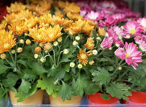 Хризантеми в горщиках: як доглядати?