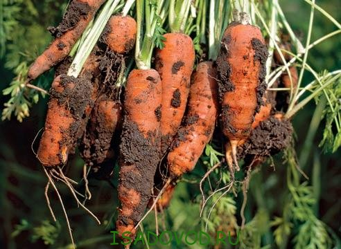 Як зберігати моркву?
