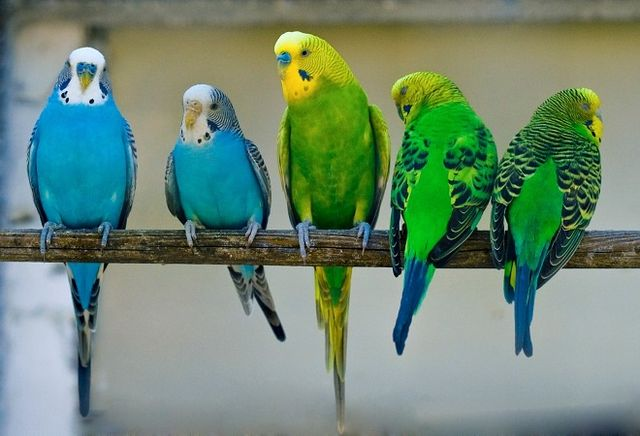 Як навчити говорити хвилястого папугу? Яких папуг можна навчити говорити?