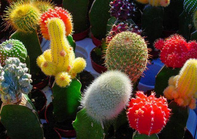 Як посадити кактус?