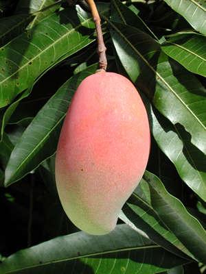 Як посадити манго? Як виростити манго з кісточки?