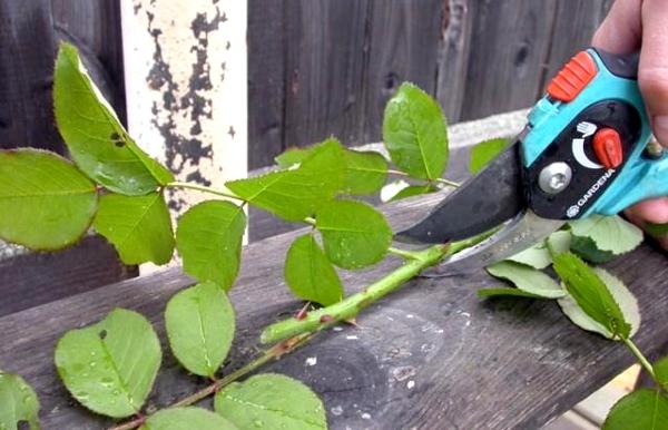 Як посадити троянду з букета? Підготовка держака і способи вирощування