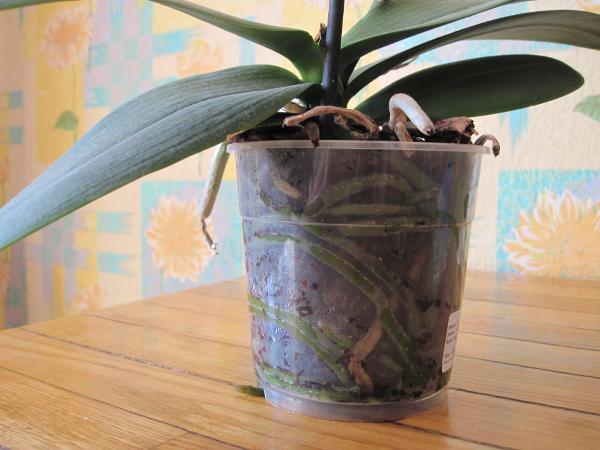 Як врятувати орхідею без коріння? Реанімація орхідеї в парнику і за допомогою моху