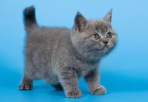 Як доглядати за британським кошеням?