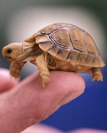 Як доглядати за черепахою вдома?