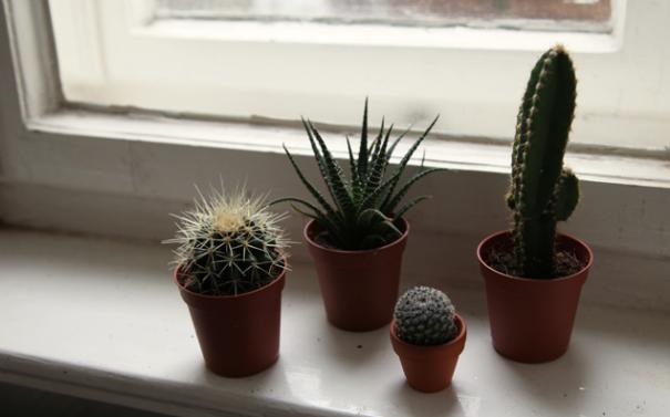 Як доглядати за кактусом? Символ мексиканської пустелі на підвіконні