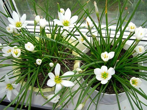 Які квіти добре тримати вдома: список кращих квітів для домашнього вогнища