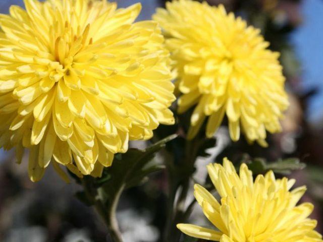 Кімнатна хризантема: догляд та вирощування