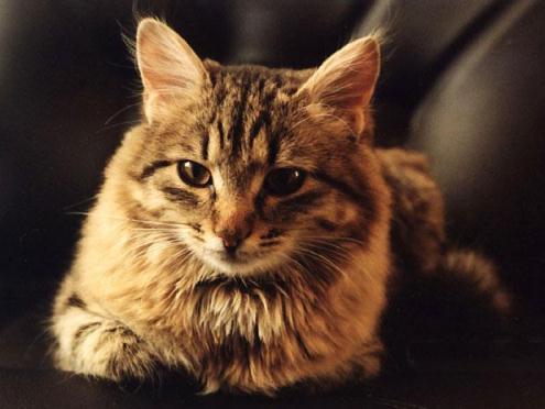Кішка в будинку: догляд та утримання