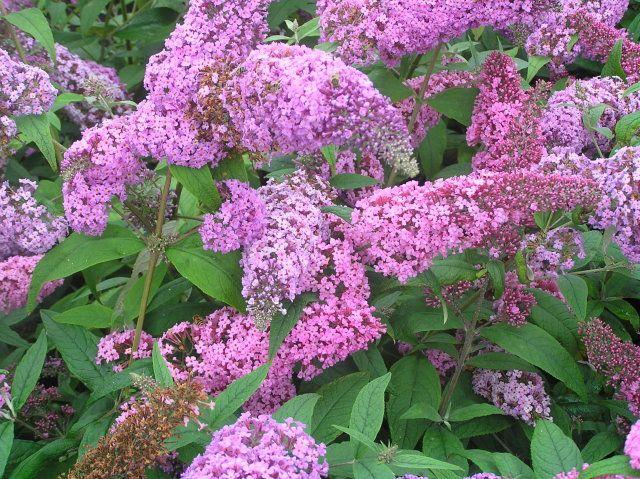Чагарники квітучі все літо: список. Опис і фото квітучих чагарників