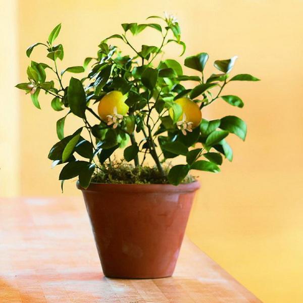 Лимонне дерево: як виростити в домашніх умовах? Як доглядати за лимонним деревом?