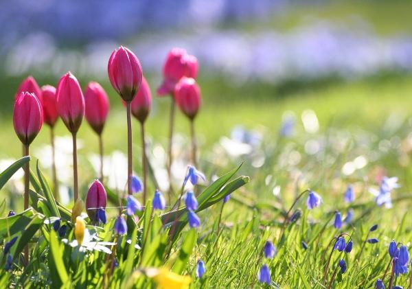 Цибулинні квіти для саду. Вибір сортів та особливості догляду