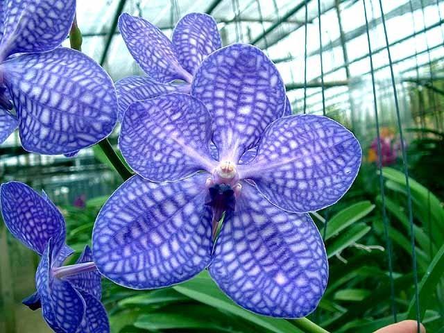 Орхідея ванда в домашніх умовах. Догляд за орхідеєю ванда