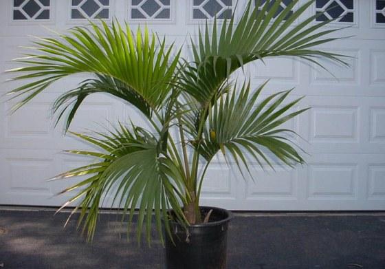 Пальма: догляд в домашніх умовах