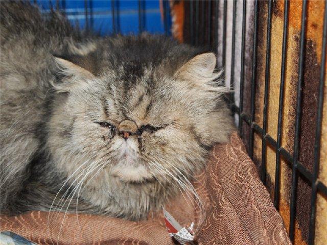 Чому сльозяться очі у кішки?