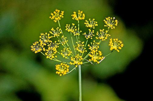 Насіння кропу: корисні властивості та застосування. Лікування насінням кропу в народній медицині