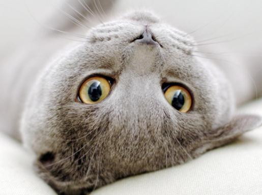 Скільки триває вагітність у кішок?