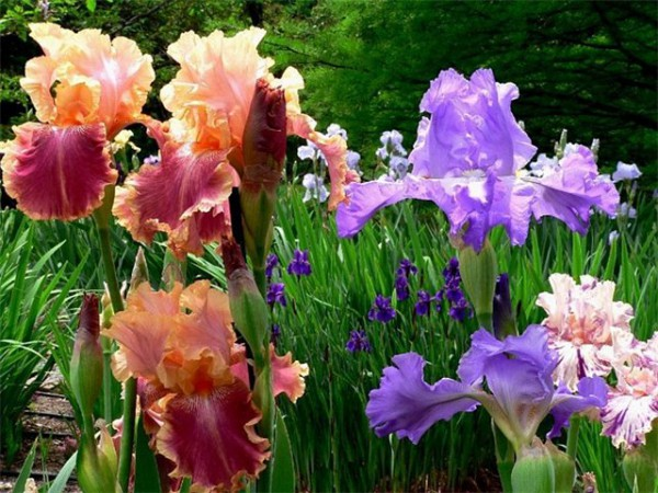 Догляд за ірисами після цвітіння: особливості пересадки