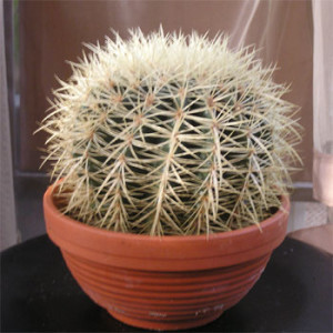Вирощування кактусів з насіння