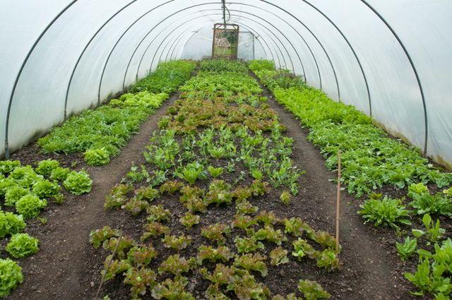 Вирощування салату в теплиці і на підвіконні